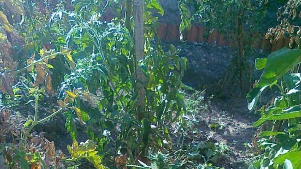 Αλιστράτη Σερρών: Ανάμεσα στις ντοματιές φύτρωναν χασισόδεντρα