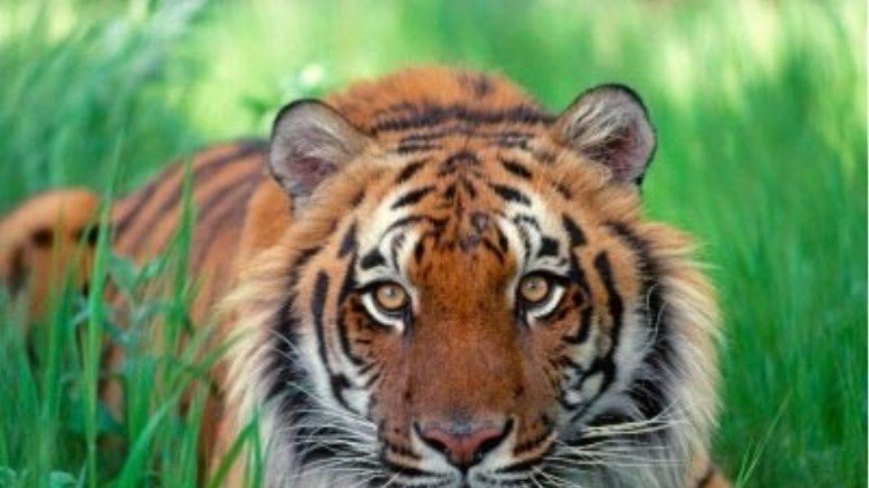 Nέα Ζηλανδία: «Όχι» στην ευθανασία της τίγρης που σκότωσε την φύλακα