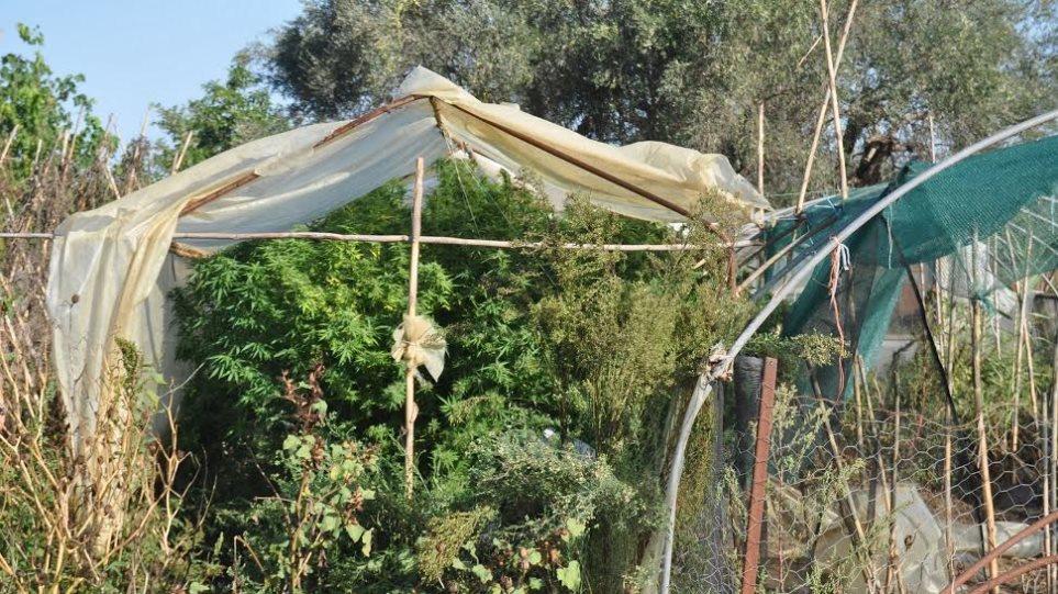 Αυτοσχέδιο θερμοκήπιο με χασισόδεντρα στην Αμαλιάδα