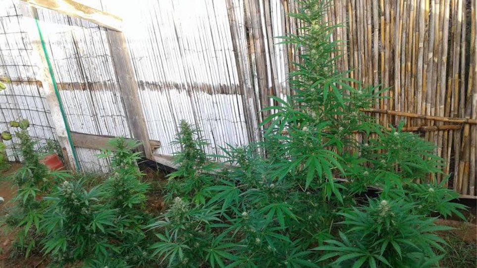 Καλλιεργούσε και... υβρίδια κάνναβης στην Πάρο