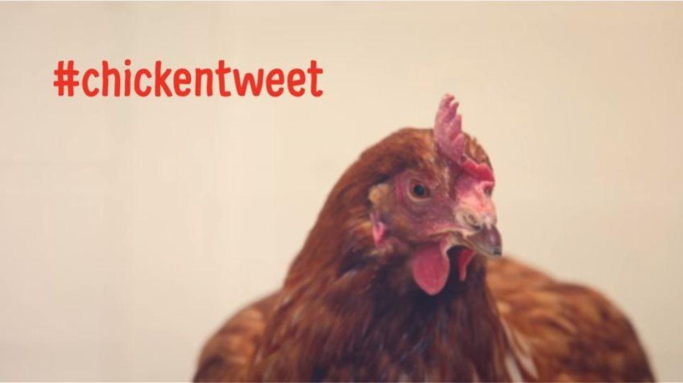 Bίντεο: Δείτε την... κότα που τουιτάρει (και έχει και περισσότερους followers από εσάς)