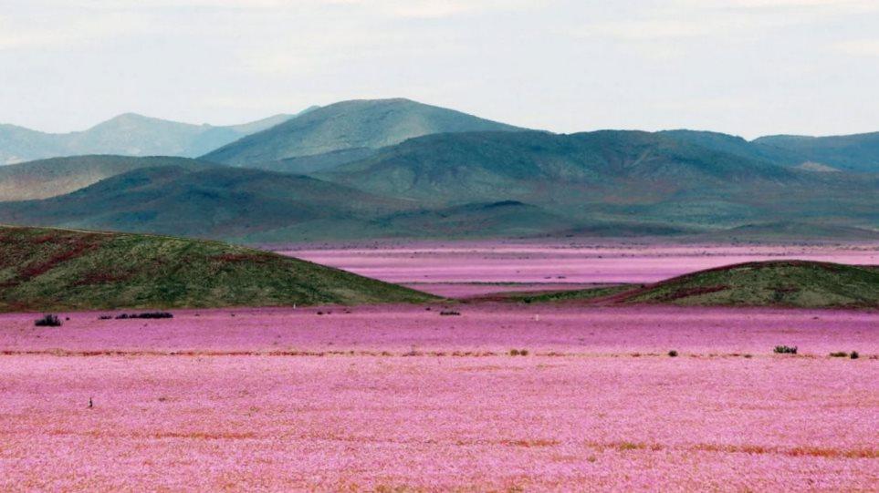 Δείτε το ανθισμένο λιβάδι που δημιούργησε το Ελ Νίνιο στο πιο άνυδρο μέρος του πλανήτη!