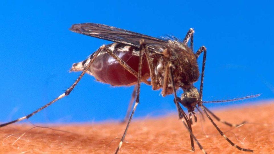 Σημαντικό βήμα στη μάχη κατά της ελονοσίας - Δημιούργησαν μεταλλαγμένα στείρα κουνούπια