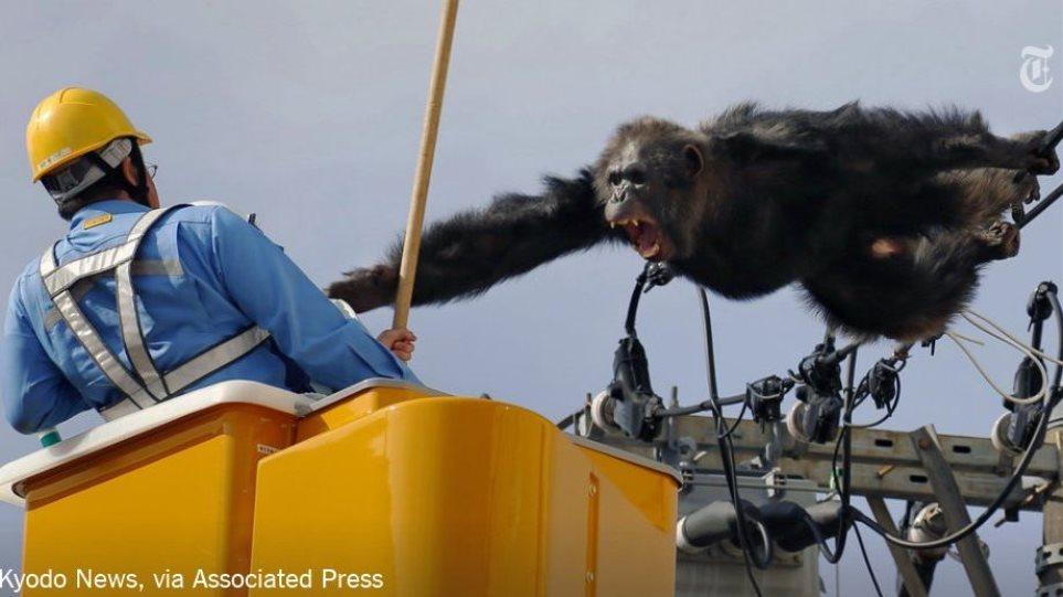 Βίντεο: Δείτε πως κατεβάζουν χιμπατζή από κολόνα ηλεκτρισμού