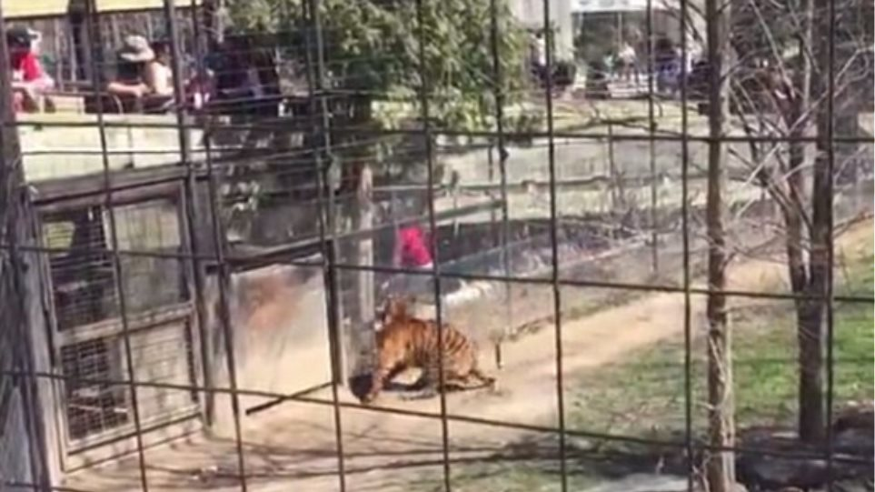 Bίντεο σοκ: Έφτασε σε απόσταση αναπνοής από τίγρη για να... πιάσει το καπέλο της