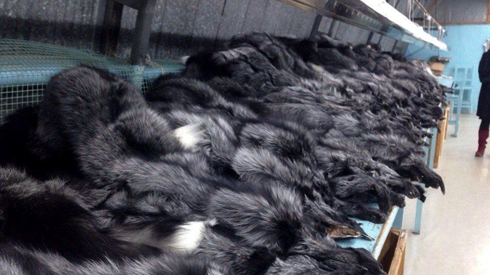 Κτηνωδία: Δείτε πώς φτιάχνουν τις πανάκριβες γούνες μινκ στη Σιβηρία