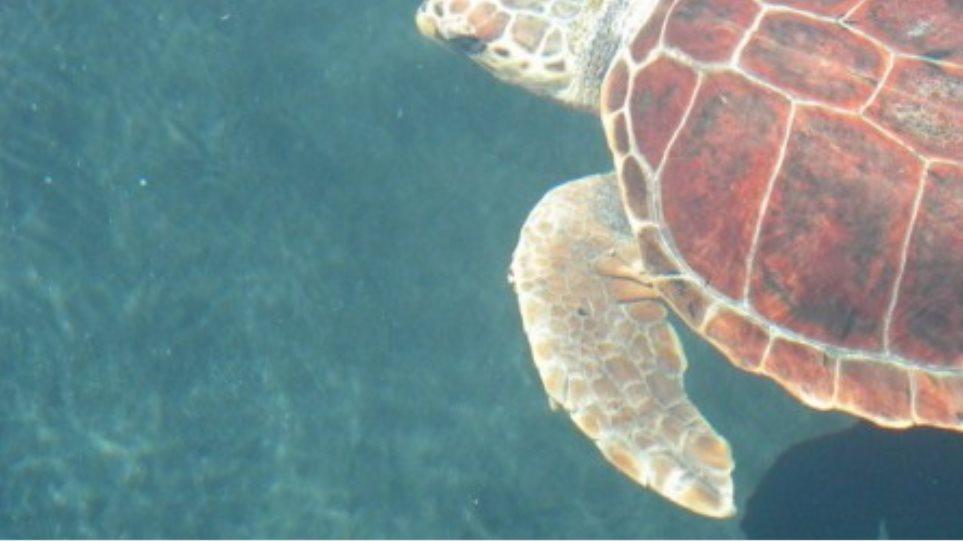 Πρόστιμα σε όσους ενοχλούν… τις χελώνες caretta-caretta