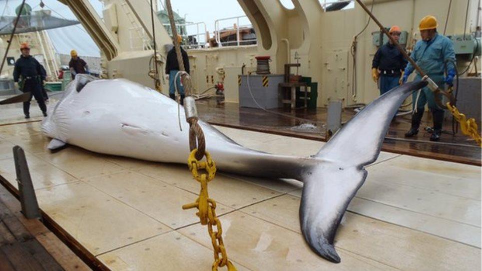 Ιαπωνία: Σφάζουν και ξεκοιλιάζουν φάλαινες στο βωμό της επιστήμης