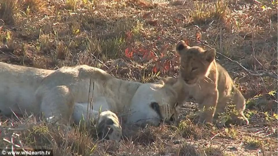 Viral βίντεο: Η απίστευτη αντίδραση μιας λέαινας όταν την ξυπνάει το μικρό της
