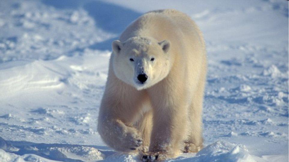 Πολικές αρκούδες περικύκλωσαν εργαστήριο παγιδεύοντας επιστήμονες!