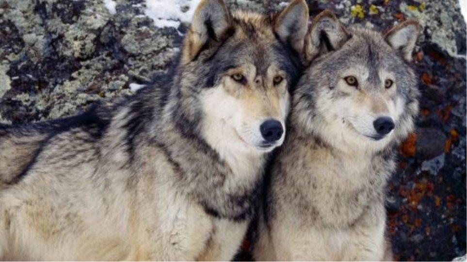 Αγέλες λύκων τρομοκρατούν τους κυνηγούς στο νομό Ιωαννίνων