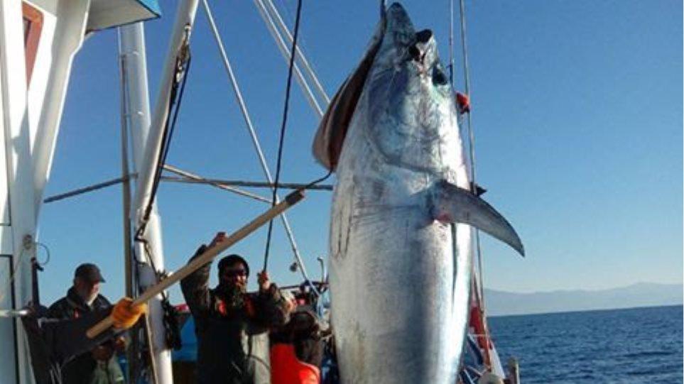 Χριστουγεννιάτικο «δώρο» της θάλασσας: Ψαράδες έβγαλαν τόνο 185 κιλών!