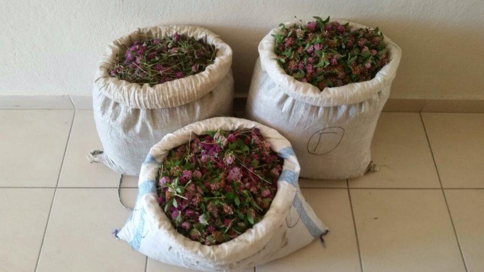 Αλβανοί μάζευαν παράνομα αρωματικά φυτά στην Καστοριά