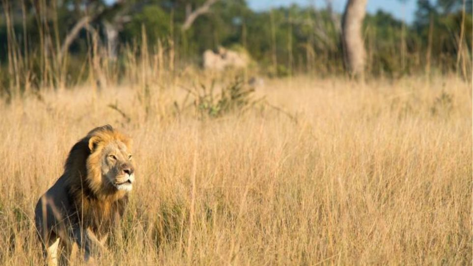 Ζιμπάμπουε: Σκότωσαν και τον γιο του θρυλικού λιονταριού Σεσίλ