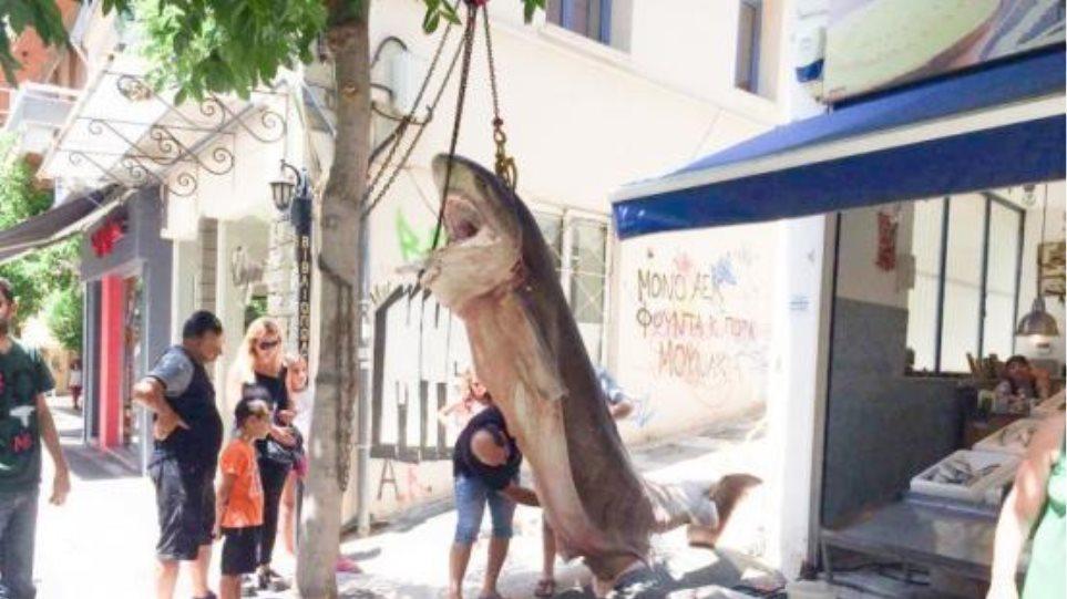 Ψαράδες έπιασαν έναν καρχαρία 300 κιλών στην Κεφαλονιά - Δείτε φωτογραφίες