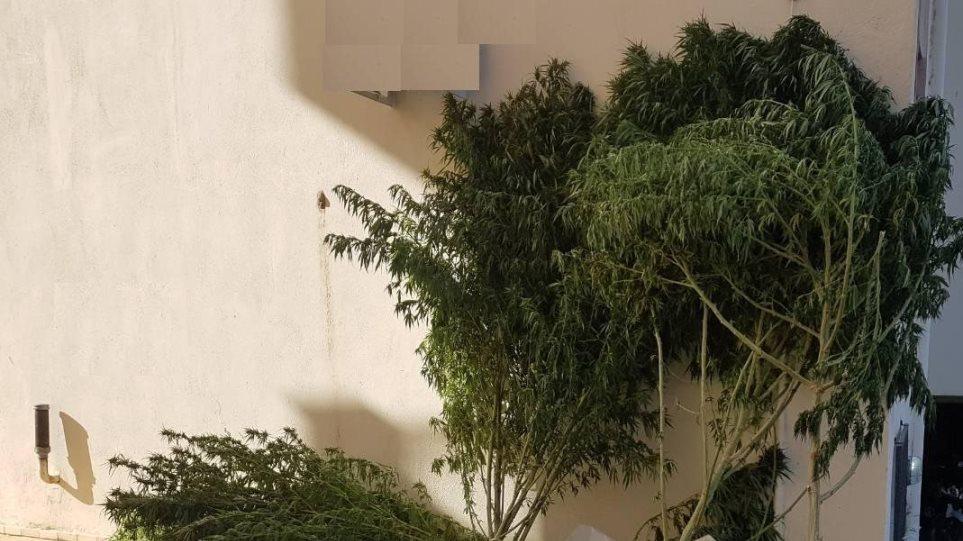 Χασισοφυτεία με τεράστια δενδρύλλια στο Κιλκίς