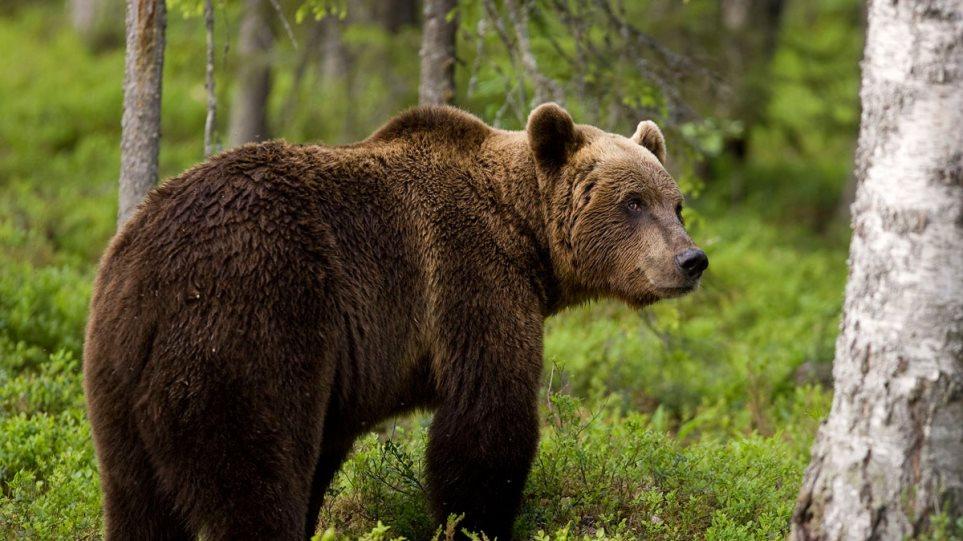 Καφέ αρκούδα σκότωσε κτηνοτρόφο - Απορρίφθηκε το αίτημα αποζημίωσης των συγγενών
