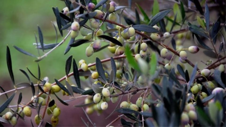 Έκλεψαν οκτώ τόνους ελιές από αγροτικές αποθήκες στο Μεσολόγγι