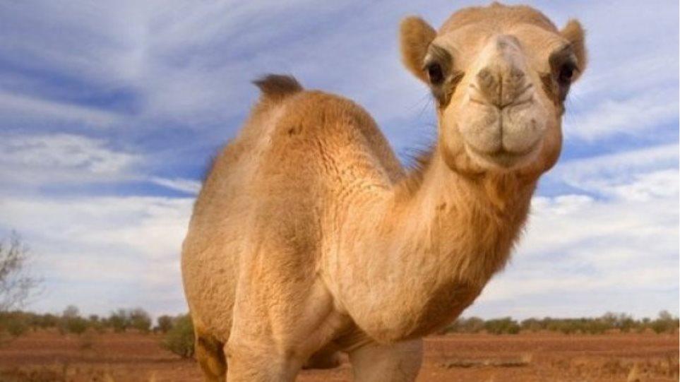 camel_009