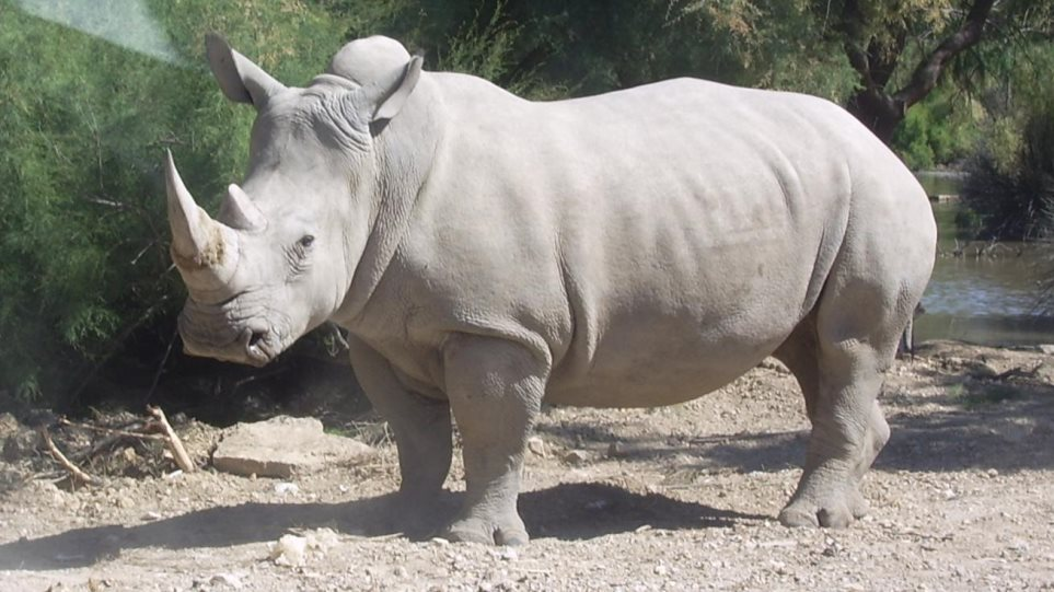 Rhinoceros_blanc