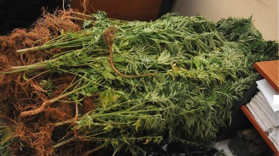 Ιεράπετρα: Στα πράσα οι καλλιεργητές 2.000 χασισόδεντρων