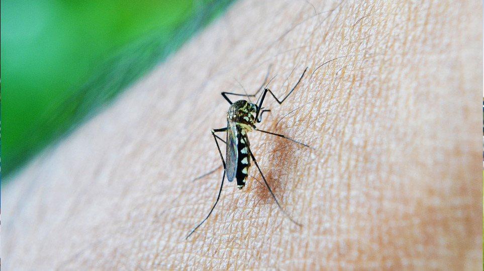 mosquito0