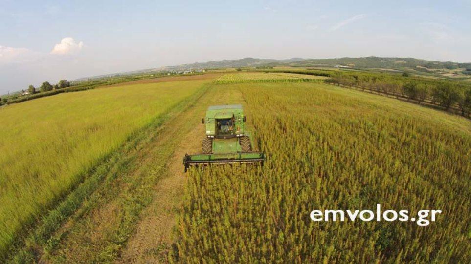 Ημαθία: H πρώτη συγκομιδή βιομηχανικής κάνναβης είναι γεγονός