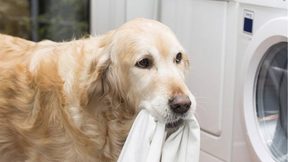 Τα σκυλιά μπορούν να «ανιχνεύσουν» την ελονοσία μυρίζοντας... κάλτσες