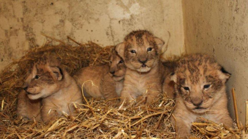 Έγκλημα σε ζωολογικό κήπο: Θανάτωσαν 9 υγιέστατα λιονταράκια γιατί θα... μεγάλωναν πολύ!