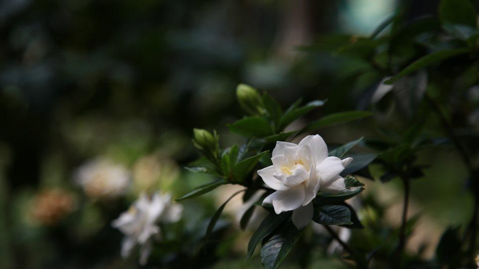 gardenia-3520314_1920