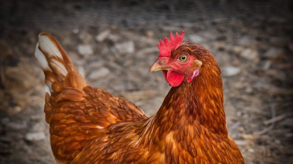 Ηράκλειο: Τραυματίστηκε προσπαθώντας να... σφάξει μια κότα!
