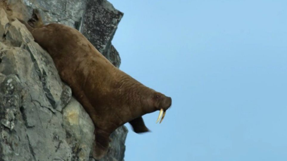 our-planet-walrus-scene-f
