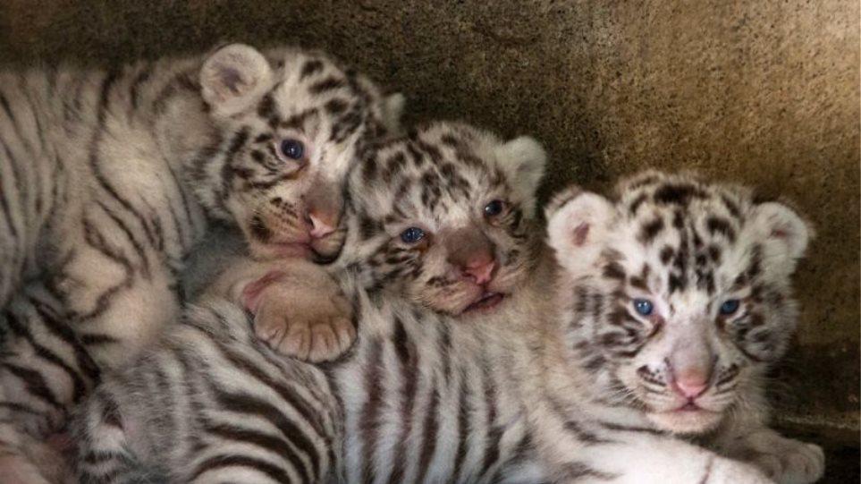 tigri-n1