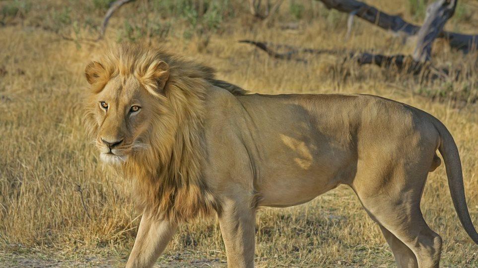 lion-paki