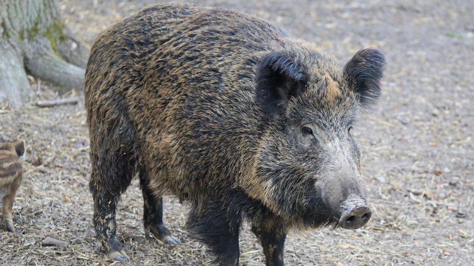 boar-italy