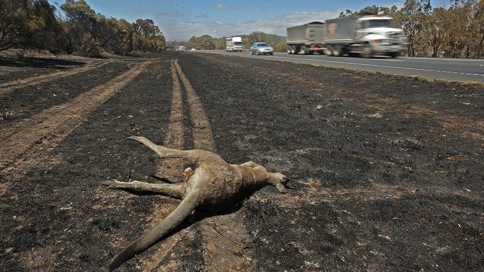 Φρίκη δίχως τέλος στην Αυστραλία - Πάνω από ένα δισεκατομμύριο νεκρά ζώα από τις φωτιές!