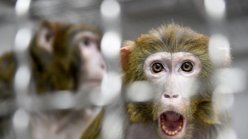 macaque_rhesus