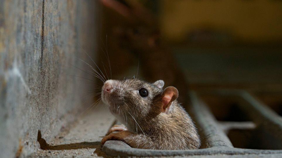 sydney_rats