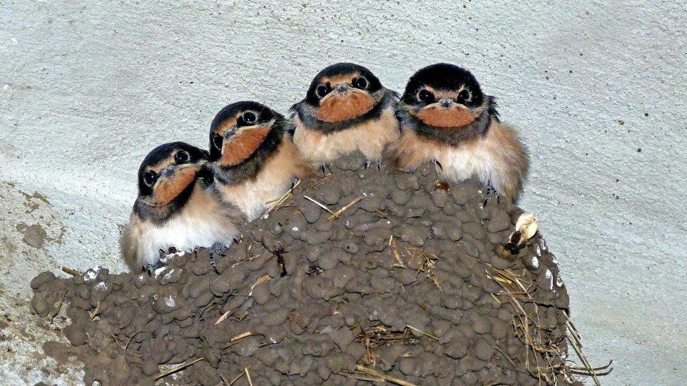 swallow-nest