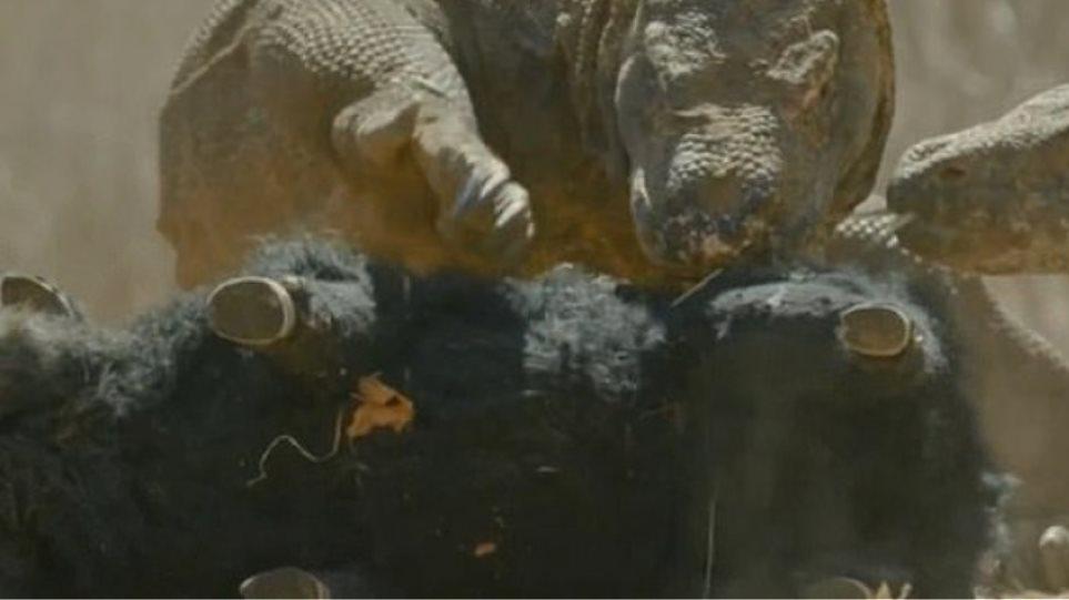 komodo-dragons-pig-17-06-2020