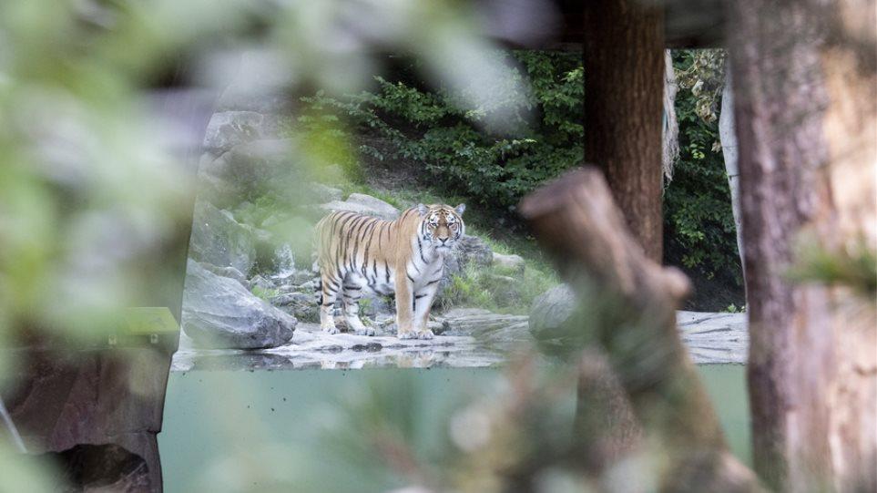 tiger_sweden