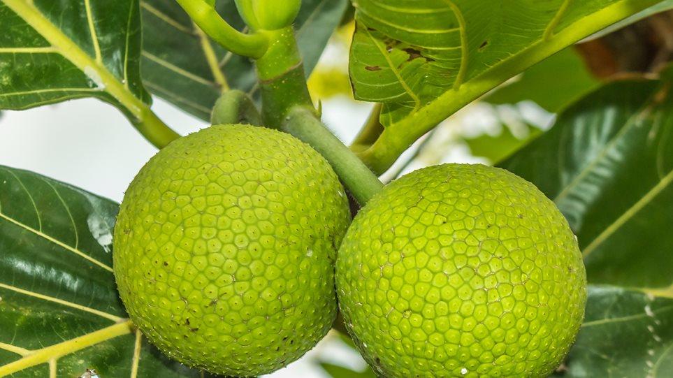 breadfruit1