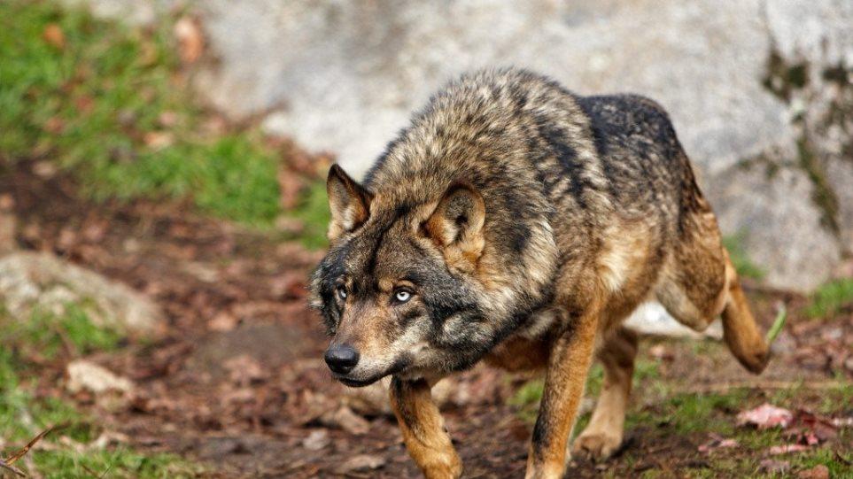 Wolf-of-Paris-Iberian-wolf-1024x720-1