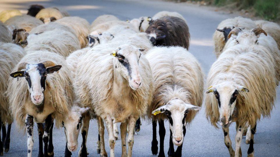 sheep-greece