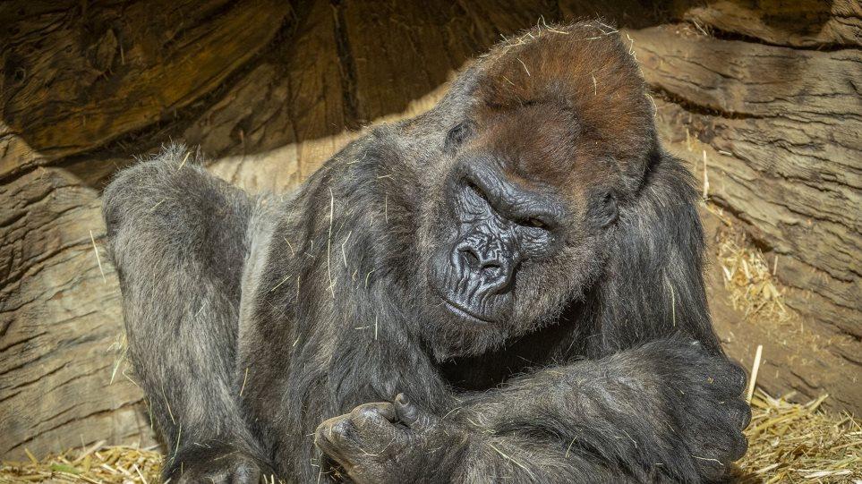 gorilla_covid