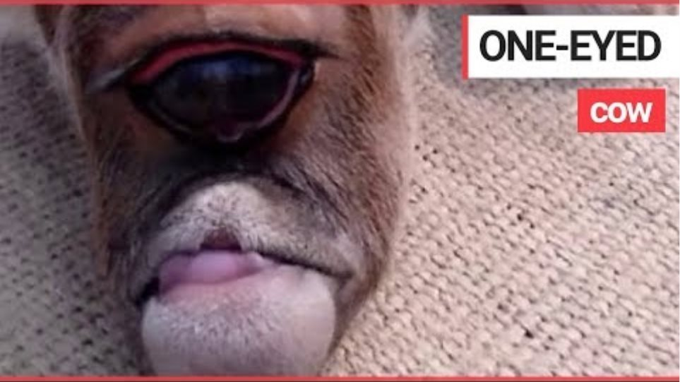 """A Cow with One Eye is """"Being Worshipped as a God"""" 