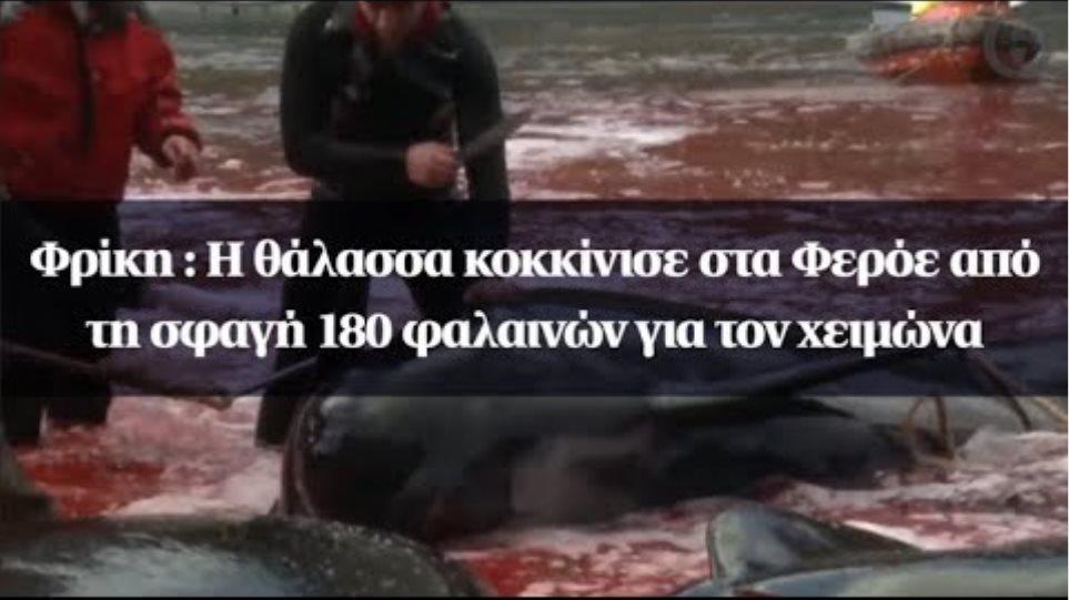 Φρίκη : Η θάλασσα κοκκίνισε στα Φερόε από τη σφαγή 180 φαλαινών για τον χειμώνα