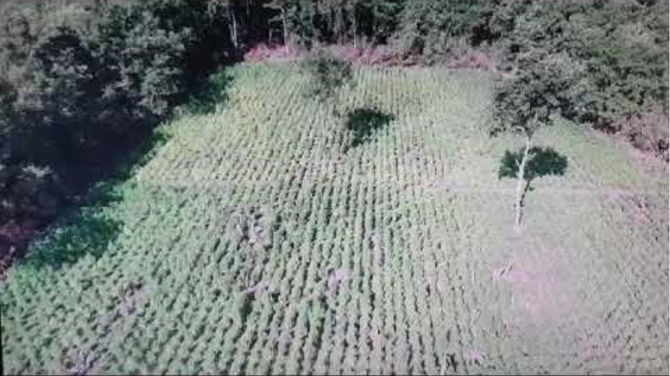 Φυτεία με δενδρύλλια κάνναβης στα Γρεβενά