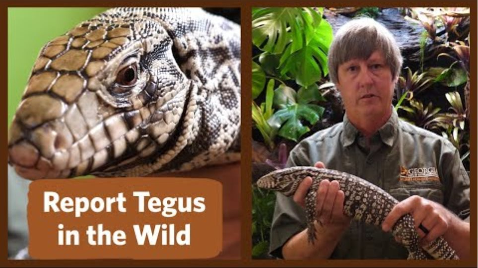 Have You Seen Tegus in the Wild in Georgia?