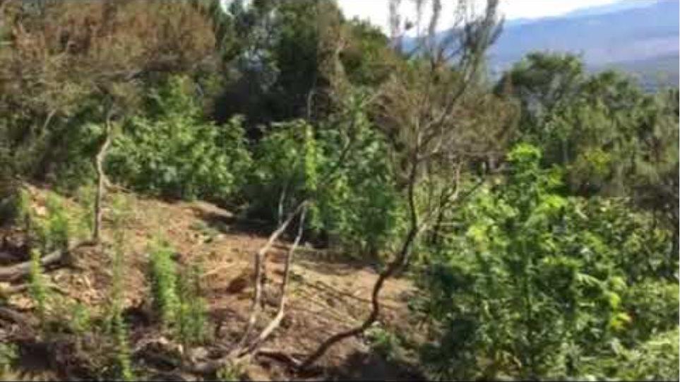 Εξαρθρώθηκε εγκληματική οργάνωση που δραστηριοποιείτο στην  καλλιέργεια φυτειών κάνναβης